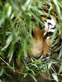 День тигра (Программа)