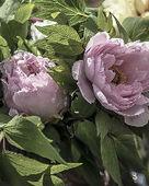Встреча «Цветок императора» – подарок префектуры Симанэ