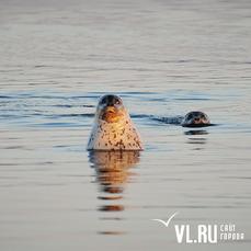 В поисках открытой воды и рыбы ларги заплывают в акваторию Владивостока (ФОТО)